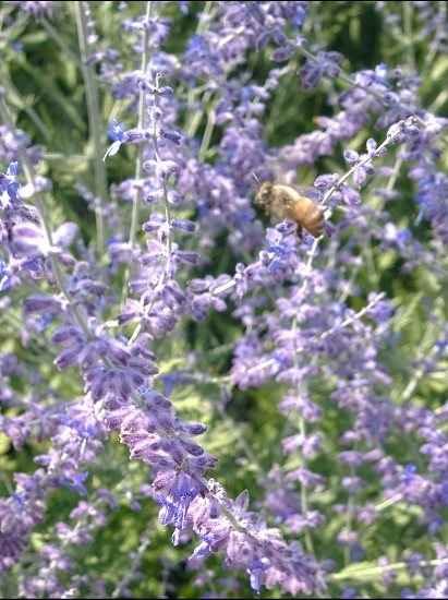 honey bee hovering above purple petaled flower closeup photography photo