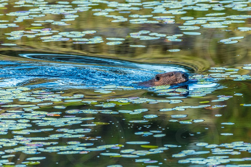 Beaver swimming against lily pads in a lake. photo