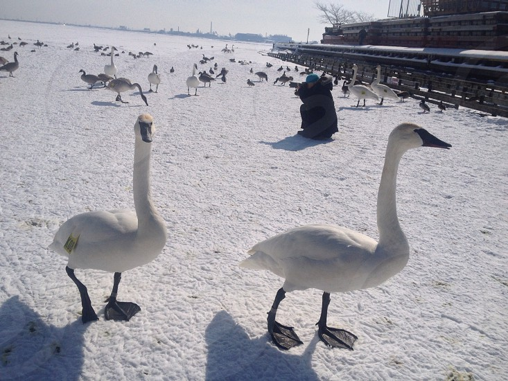 white geese on snowfield  photo