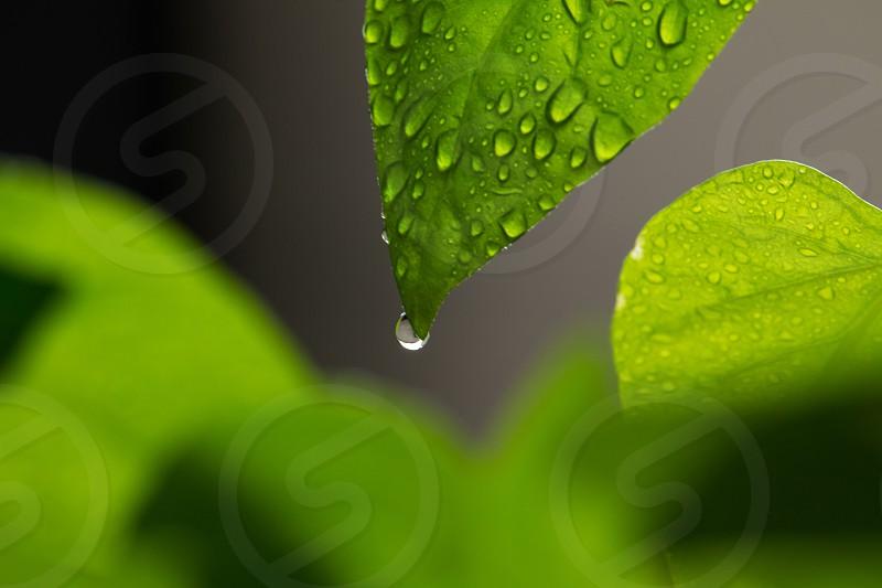 Dripping Green photo