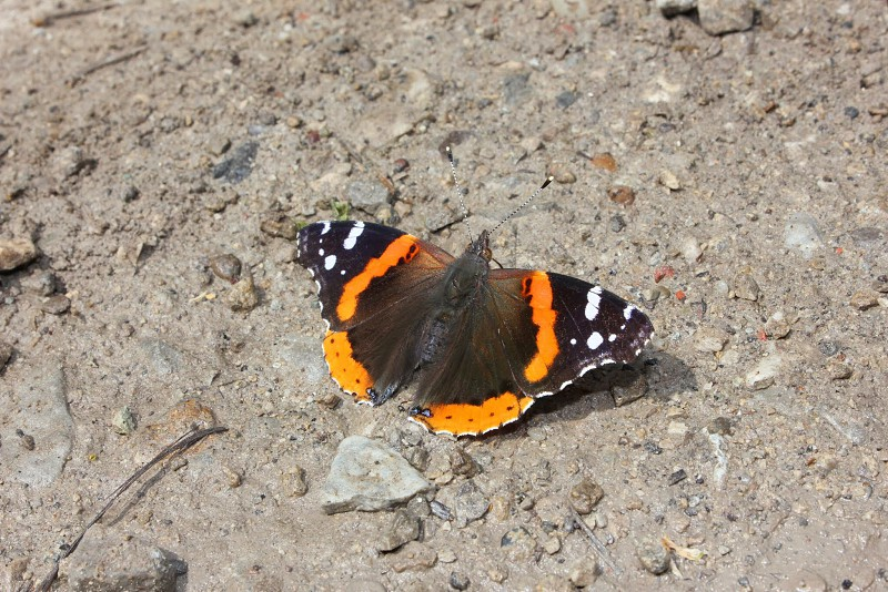 red admiral butterfly on grey soil photo