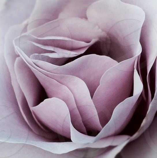 Beautiful ash pink rose up close photo