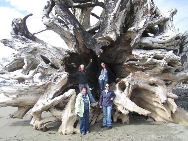 Beautiful washed up tree on First Beach in La Push WA photo