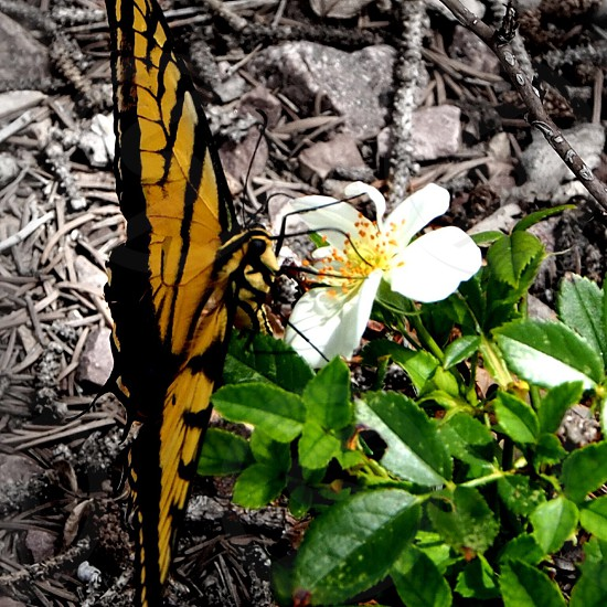 eastern tiger swallowtail butterfly macro photography photo