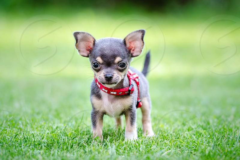CHI chihuahua dog photo