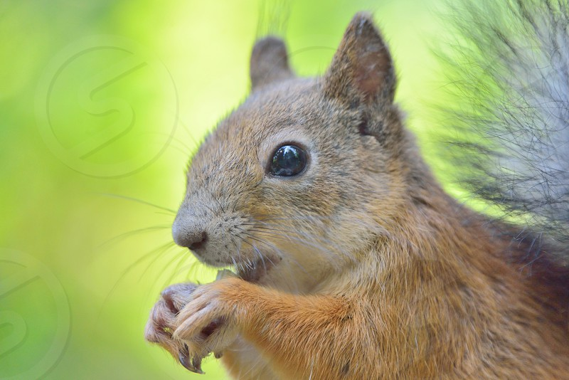 Close-up of squirrel eating a nut photo