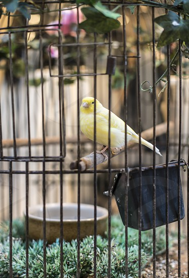 Yellow bird in a cage. Close up photo