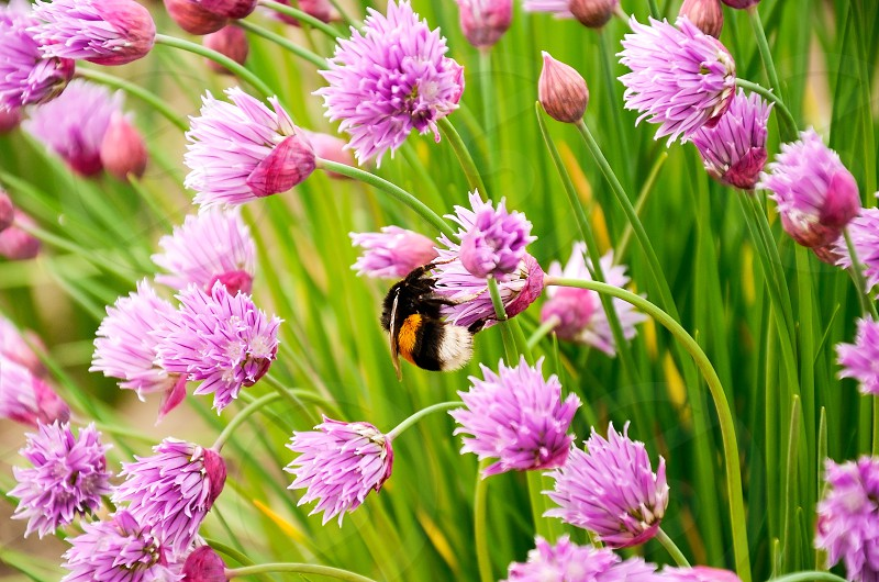 Bumblebee flowers spring spring flowers flower purple bee insect blossom pink nature day plant fly flying garden wild leaf close-up sunlight green photo
