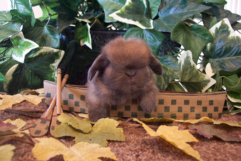 Baby Holland Lop photo