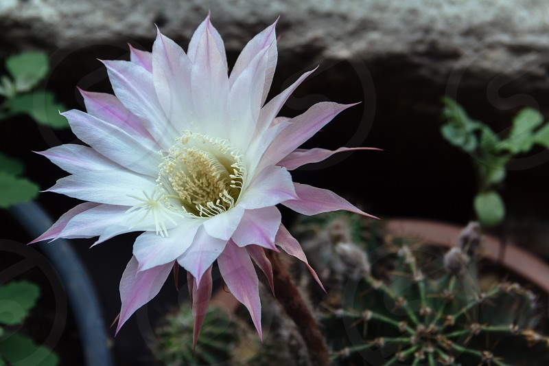 Night-blooming cactus flower photo