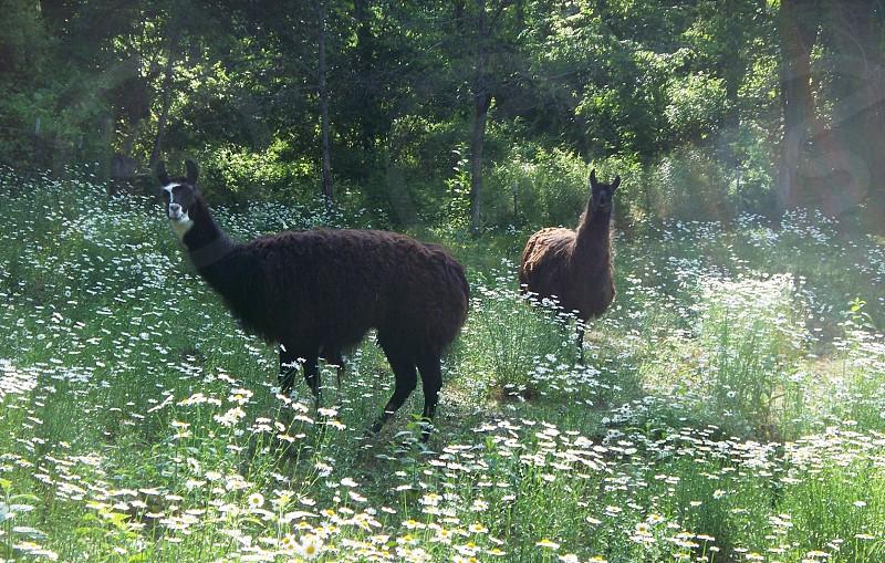 Llamas in Shasta Daisy country pasture photo