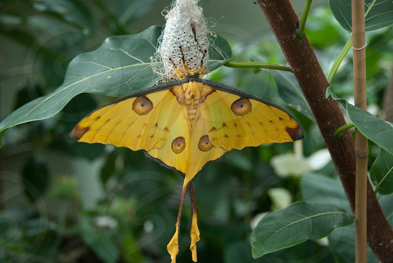 Beautiful yellow butterfly  emerging from its pupa photo