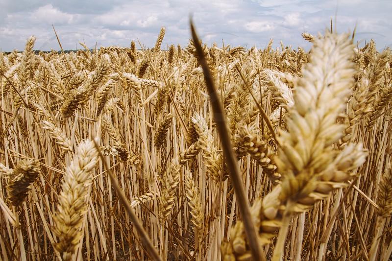 farm wheat grain table food nature field farmer summer day gold  photo