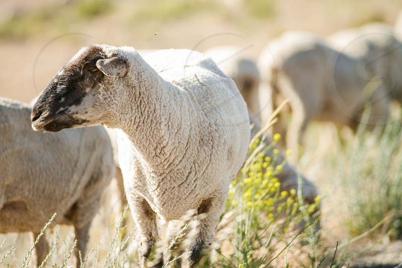 A sheep standing in a field surrounded by weeds with yellow wildflowers photo