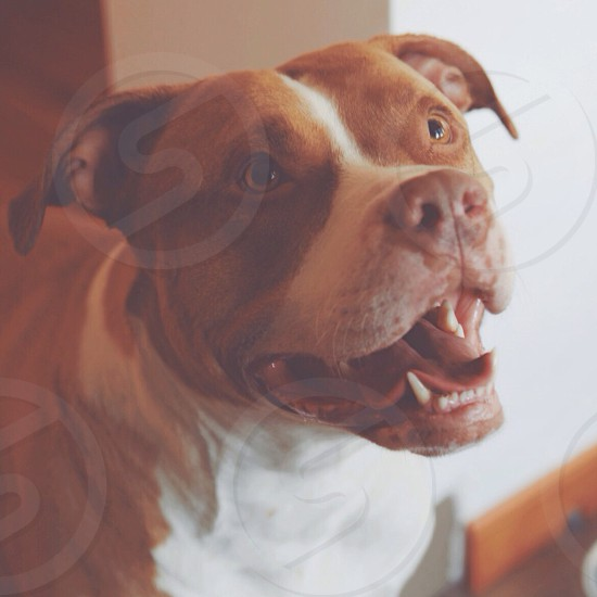 brown and white short haired dog photo