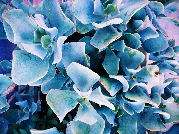 blue hydrangea flowers photo