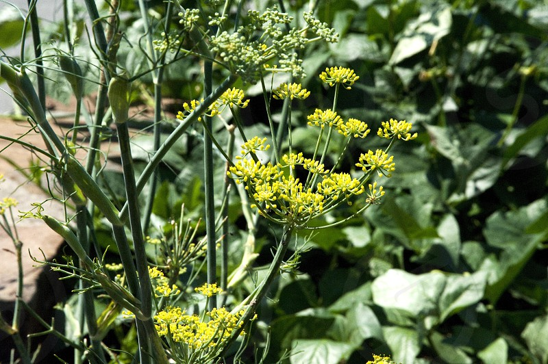 Dill flowers on plant photo