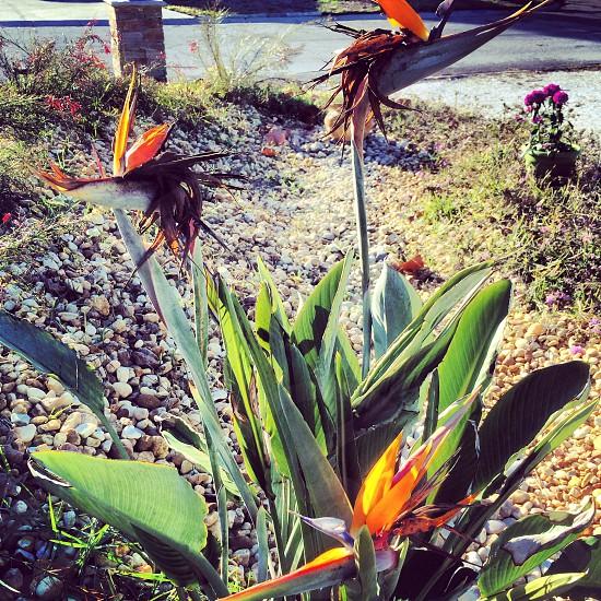 flower bloom bud red pink white green plant planting planter garden gardening blossom seed greenery summer sun soil earth bird of paradise orange blue rock riverbed dry photo