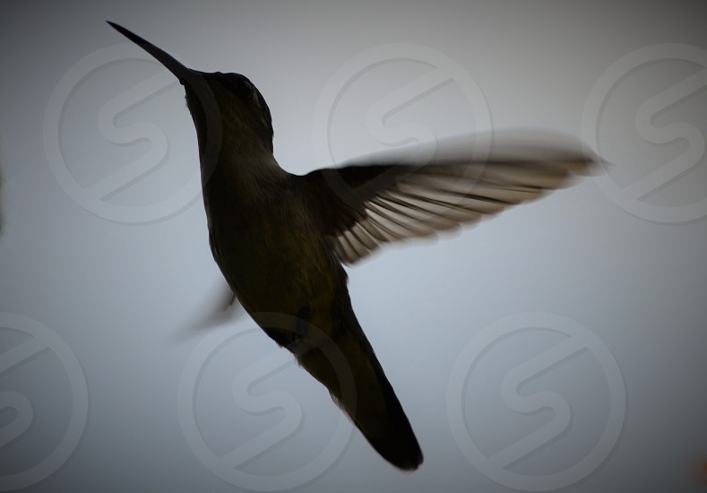 beige humming bird photo