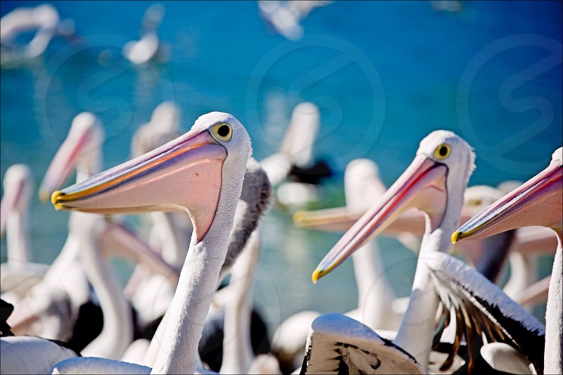 Pelicans waiting for some off cuts from the fishermen. photo