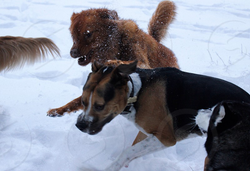 Dogs dog pet pets snow animal action fight attack mean angry pitbull chow playing scary California mountains closeup brother sister fighting photo