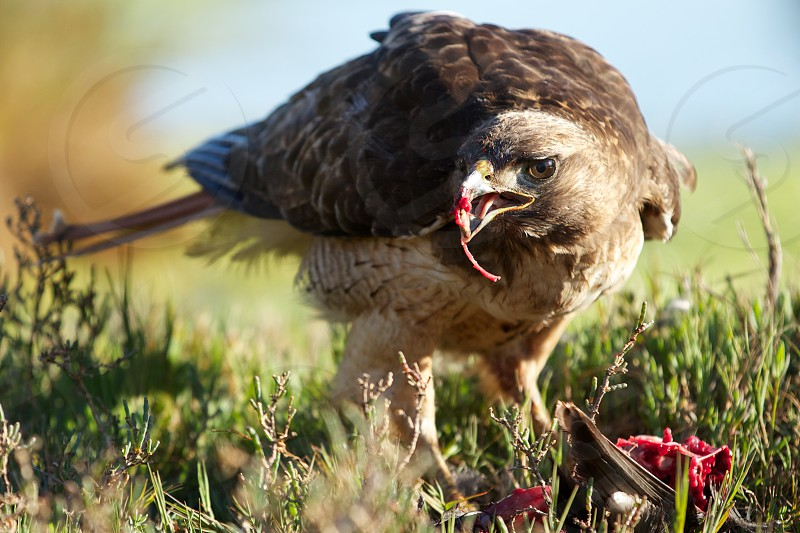 Red tail hawk photo