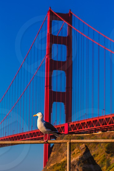 San Francisco Golden Gate Bridge seagull California USA photo
