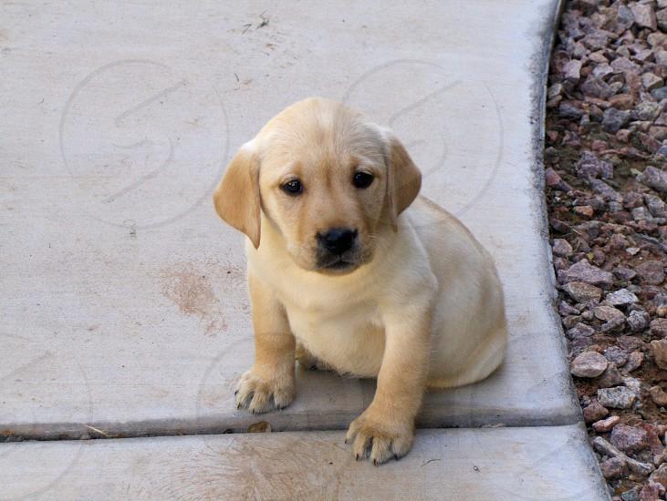 Yellow lab puppy photo
