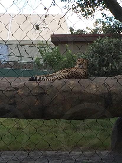 Cheetah wondering what we are doing.  photo