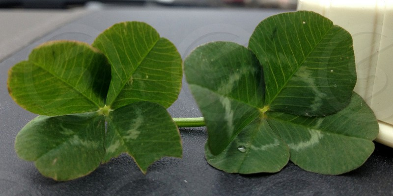 Two four leaf clovers photo
