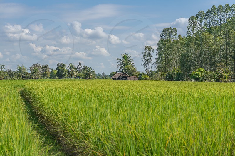 A rice field in Northern Thailand. photo