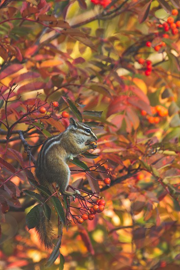 A chipmunk stocking up on fall berries in the Rocky Mountains Colorado photo