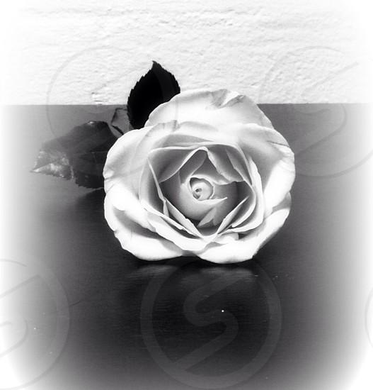 A rose.  photo