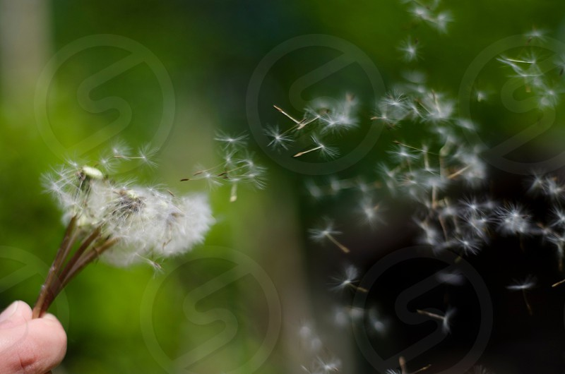 blow white dandelion flower photo