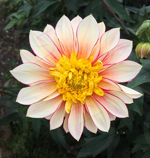 Colourful garden flower photo