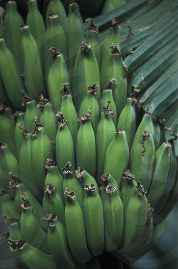 Bananas in the Market in the Town of Ribeira Grande on the Island of Santo Antao in Cape Berde in the Atlantic Ocean in Africa. photo