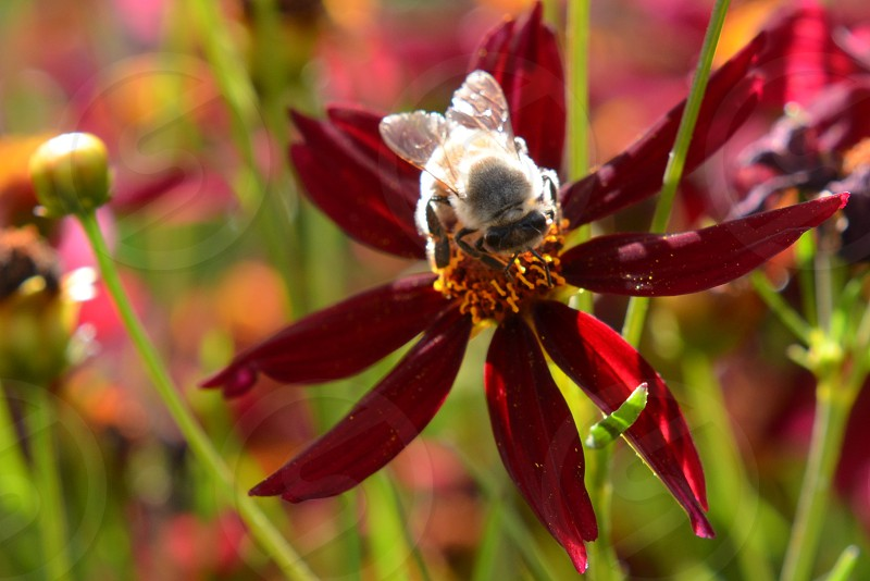 Bee on crimson flower photo