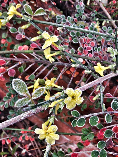 Frosted winter flowering jasmine photo