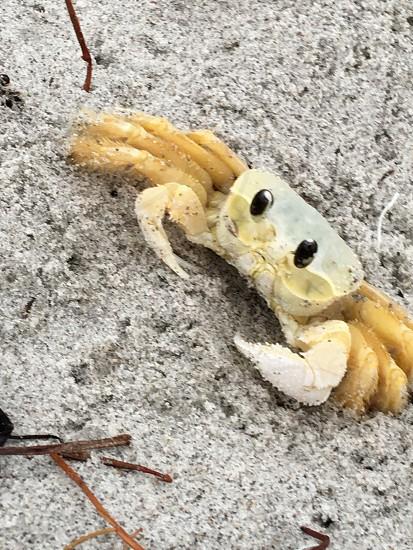 Sea crab cocoa beach Florida nature  photo