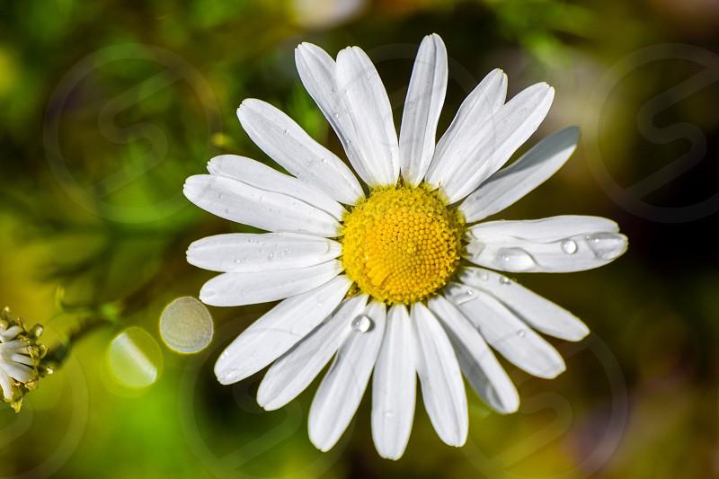 flower water daisy photo