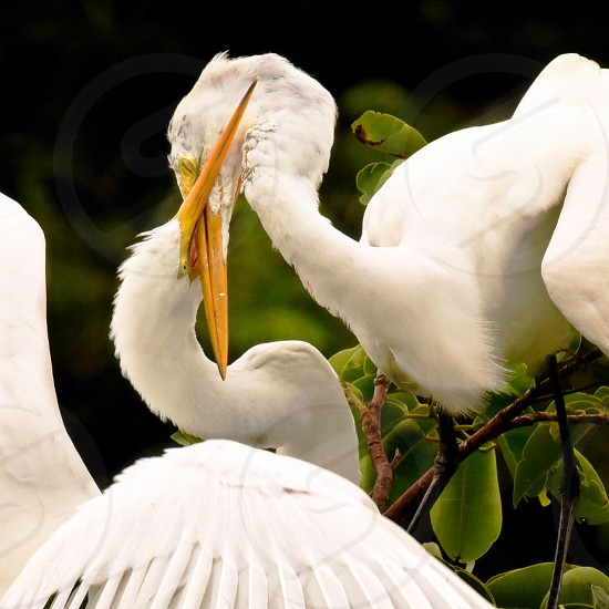 two white pelican getting intimate near branch photo