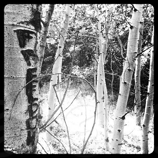 black and white  tree trunk  photo