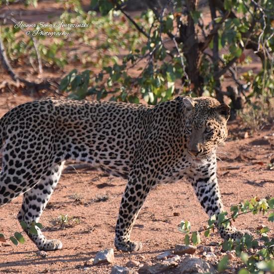 Leopard in the Kruger_National_Park photo