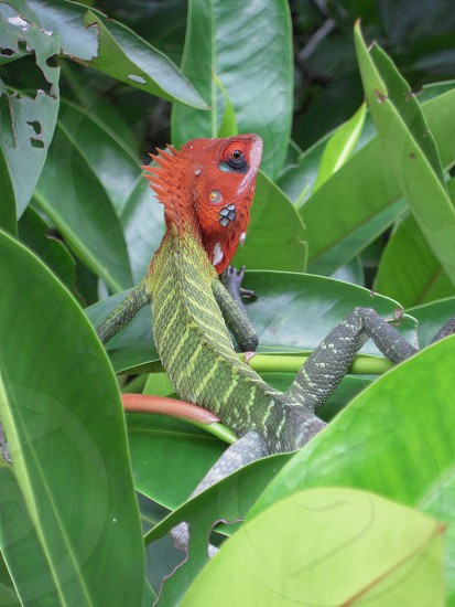 red and green reptile photo