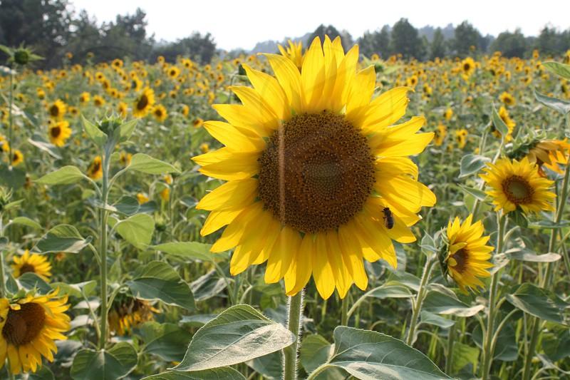 Sweet honey bee and the sunflower photo