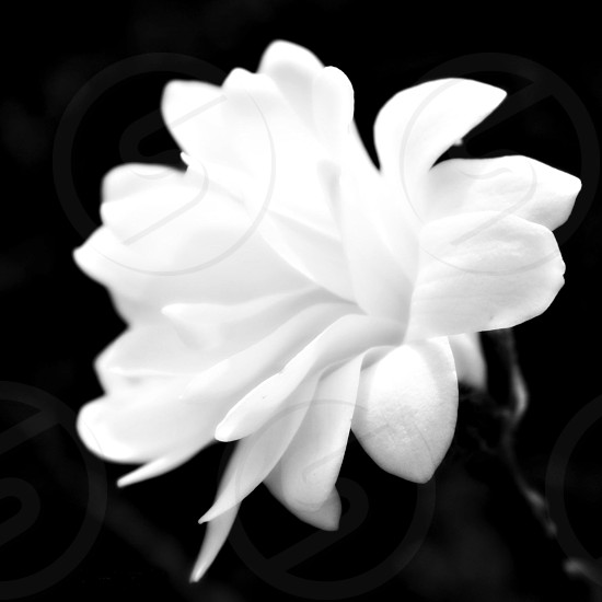white flower high contrast black and white natural light photo
