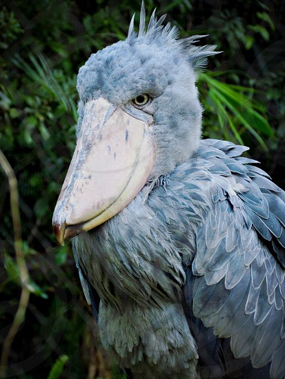 Houston Zoo; Shoebill Stork; bird; strange photo