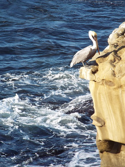 Pelican standing on a cliff edge over the ocean. San Diego California photo