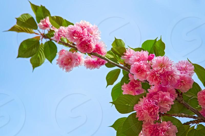 Beautiful Sakura flower in spring. Pink flower of Sakura tree against the blue sky. Cherry blossom photo