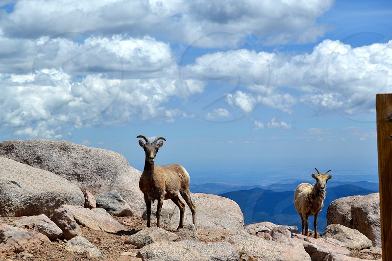 Mountain Goats At Altitude photo